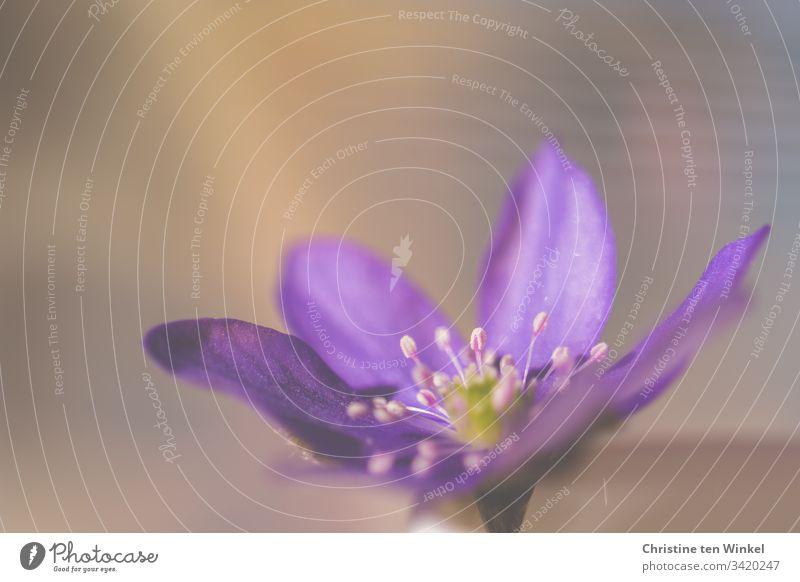 Nahaufnahme der wunderschönen Blüte eines Leberblümchens romantisch Blütenkelch gedeihen Flora Blütenpflanze ästhetisch Fröhlichkeit klein einzigartig hell