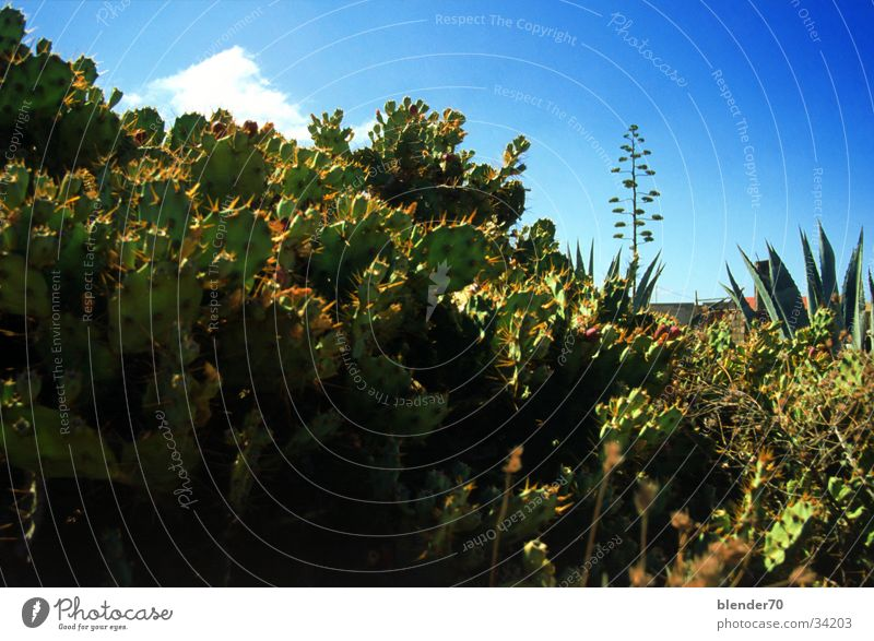 Kakteen im Vorgarten Kaktus Aloe bizarr Fuerteventura. Kanarische Inseln Urwald Wüste