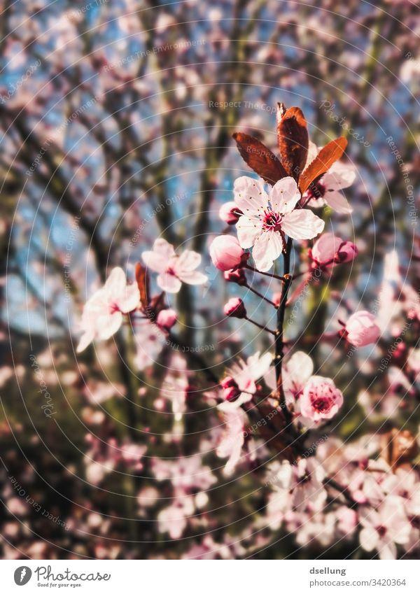 Fokus auf rosa Blüten die Teil eines Baumes sind Beginn schön erblüht Zweig Ast Kirschbaum kirschzweig Nahaufnahme Anmut zierlich edel ästhetisch Blütenblatt