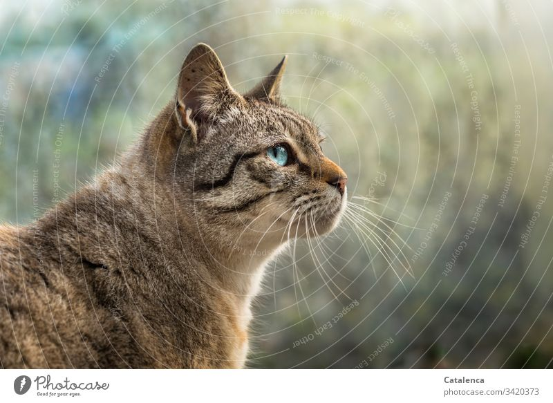 Porträt einer blauäugigen Katze Natur Fauna Haustier Hauskatze Heimtier Raubtiere Kleinkatze Fell schauen beobachten Tag Tageslicht Blau Braun Grün