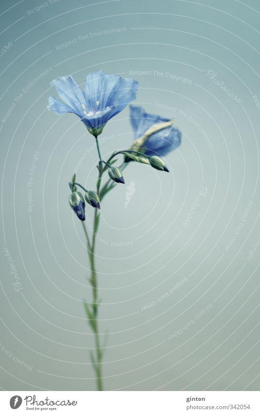 Leingewächs Natur Pflanze Frühling Blume Blüte Nutzpflanze ästhetisch dünn einfach elegant schön blau Gedeckte Farben Außenaufnahme Nahaufnahme Detailaufnahme