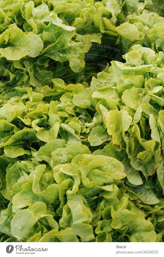 Salatköpfe frisch Blattsalat Markt grün Ernährung vegetarisch
