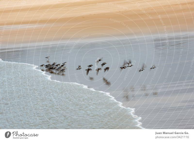 Vogelschwarm am Ufer des Strandes Wasser Vögel Tiere Küstenstreifen Schwarm Menschengruppe Meereslandschaft im Freien MEER niemand Verhalten Norden Tierwelt