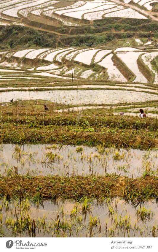 Reisterrassen mit Wasser, Sapa, Vietnam Asien sa pa Ferien & Urlaub & Reisen Außenaufnahme Natur Landschaft Berge u. Gebirge Tag Farbfoto Landwirtschaft Feld