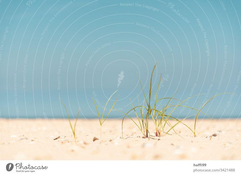 Strandhafer klein und fein im Sand Küste Erholung Nordseeküste Landschaft Sommer Insel Dühne Sandstrand ruhige Umgebung Blauer Himmel Blauer Hintergrund Meer