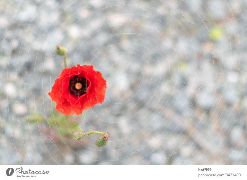 Klatschmohn Blüte vor unscharfem diffusen Untergrund Klatschmohn rot Blütenpflanze rote blüte tiefrot Sommer Mohn Blume Blühend Frühling Sonne Blütenknospen