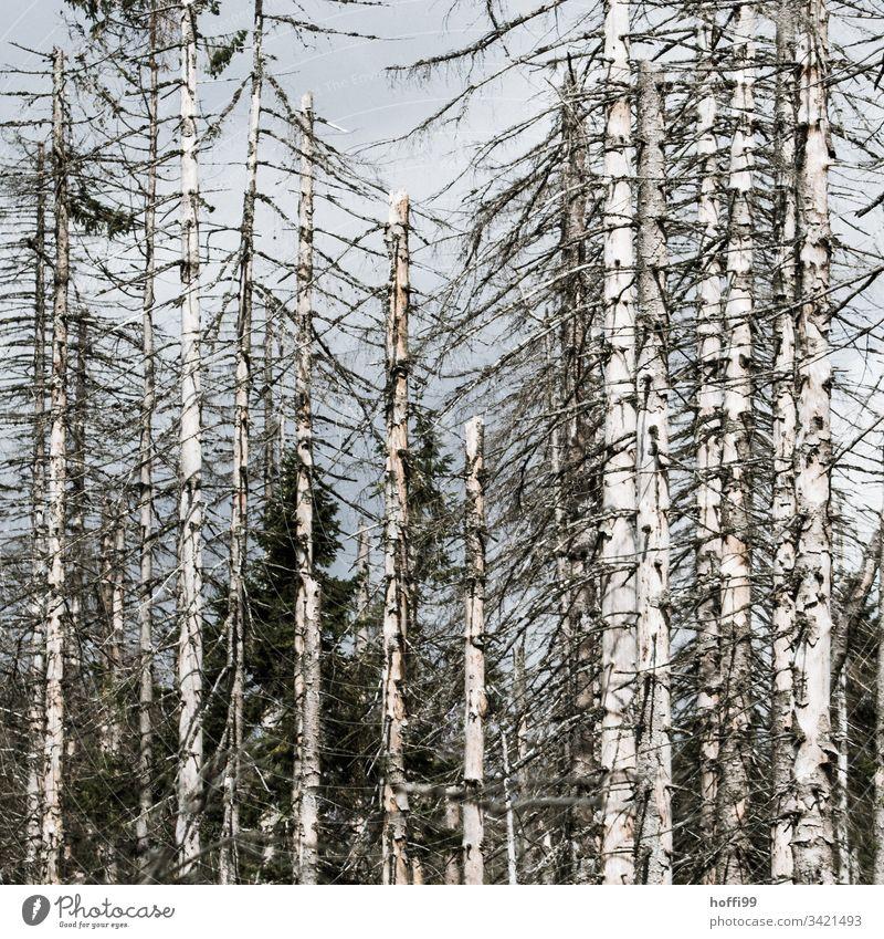Borkenkäfer im Harz - sterbende Bäume Waldsterben Baum Baumstamm Umweltverschmutzung Umweltschaden Umweltzerstörung kahle Bäume borkenkäferbefall Saurer Regen