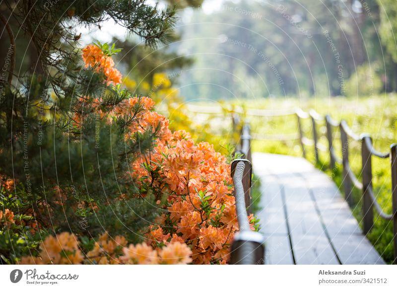 Helsinki, Finnland - 7. Juni 2019: Öffentlicher Rhododendron-Park im Wald in Helsinki, Finnland. Wunderschöne blühende Blumen, Holzwege und Kiefern. Spaziergänger im Sommerpark.