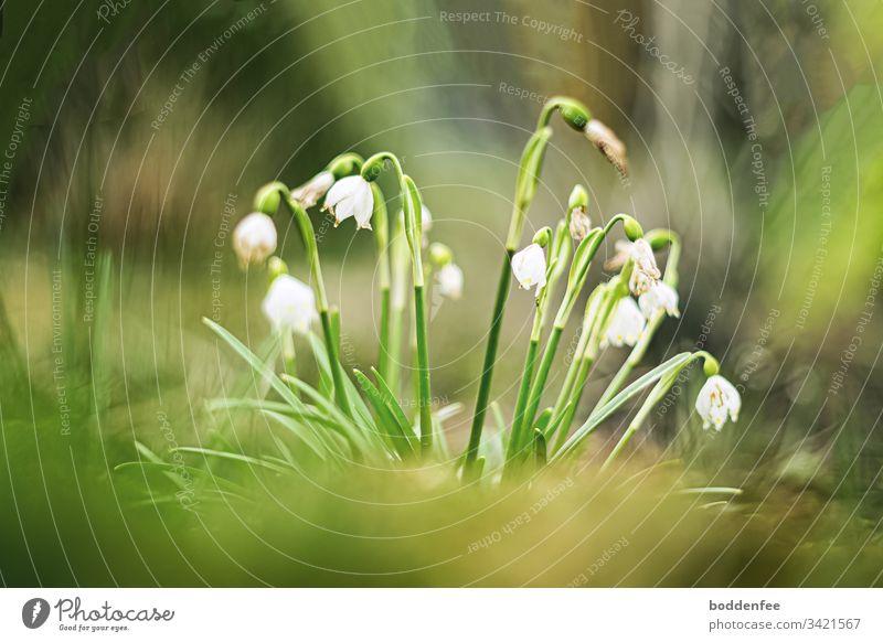 Märzenbecher beginnen zu verblühen Nahaufnahme Frühjahrsblüher Garten Frühling grün Blüten Pflanze Natur weiß