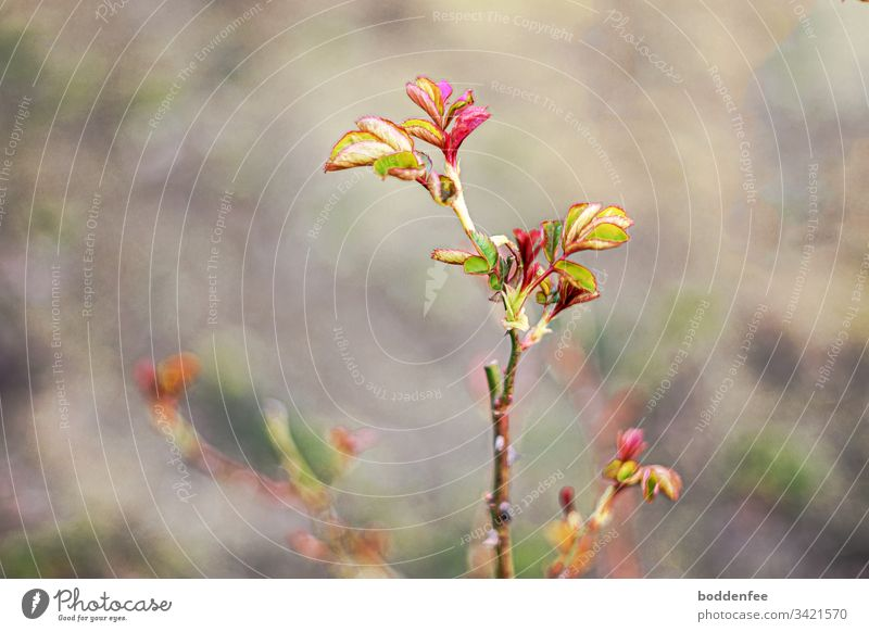 Rosentrieb im Frühjahr Trieb Garten Natur Jahreszeit Wachstum Pflanze Austrieb Blatt Außenaufnahme selektive Schärfe grün