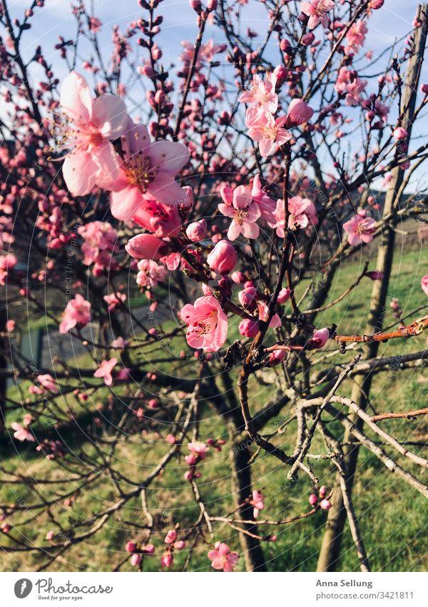 Rosa Blüten am Baum in der Abenddämmerung Frühling Blühend Blütenknospen Wachstum Garten Menschenleer Natur Pflanze Duft Unschärfe Sonnenlicht Schönes Wetter