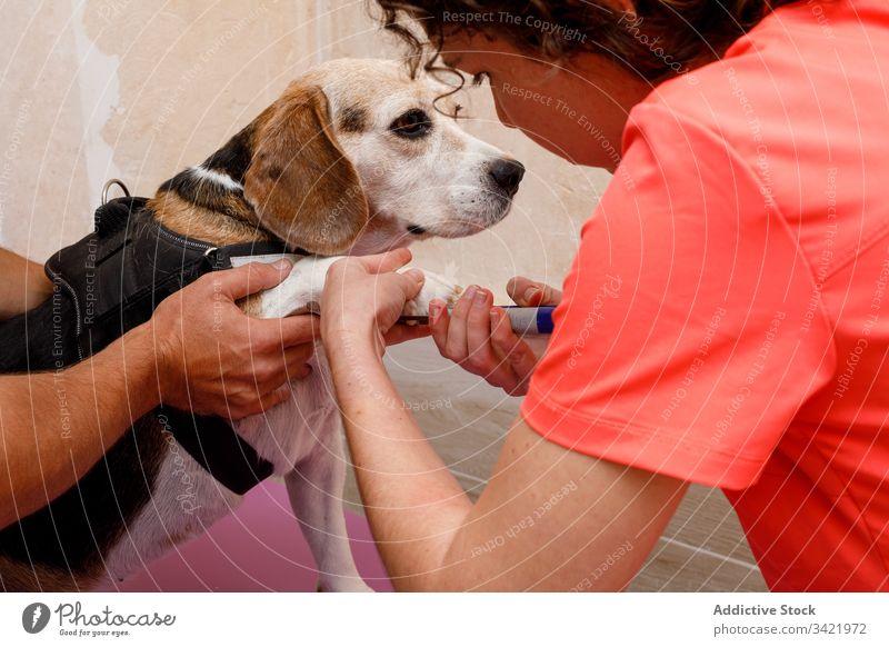 Tierärzte schneiden Nägel eines großen Hundes in der Klinik Veterinär Frau Arzt Leckerbissen Pflege Uniform Windstille Haustier heimisch Eckzahn Reinrassig