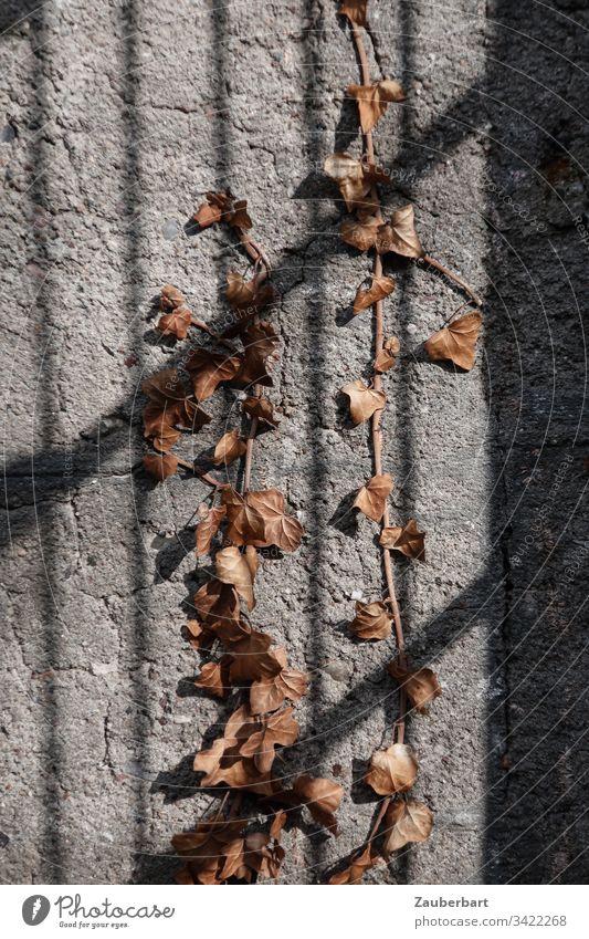 Vertrockneter Efeu auf grauer Mauer mit Schattenwurf eines Gitters vertrocknet Beton braun Wand Menschenleer Gedeckte Farben Ranke Licht Außenaufnahme