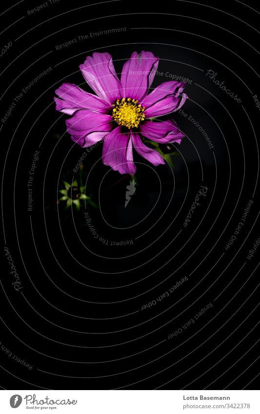 Cosmea Cosmeablüte Blume Blüte Schatten rosa pink Natur Flora Botanik Pflanze Sommer Blütenblatt Nahaufnahme Farbe Detailaufnahme frisch schön flower zart