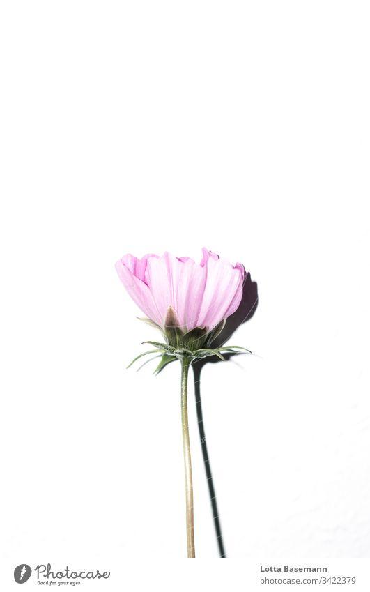 Cosmea Cosmeablüte Blume Blüte Blumenstil Schatten weiß rosa pink Natur Flora Botanik Pflanze Sommer Blütenblatt Nahaufnahme Farbe Detailaufnahme frisch schön