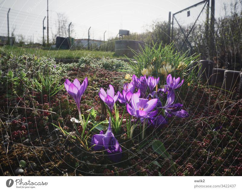 Blumig Krokusse Blumen blühen farbenfroh leuchtende Farben Blüte Pflanze Farbfoto Nahaufnahme schön grün Außenaufnahme Frühling Natur