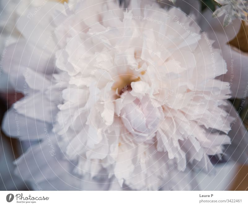 Nahaufnahme einer schönen weißen Pfingstrose Valentinsgruß weich Roséwein romantische Blumen Blütenblatt Pfingstrosen-Hintergrund Pastell Natur natürlich Liebe
