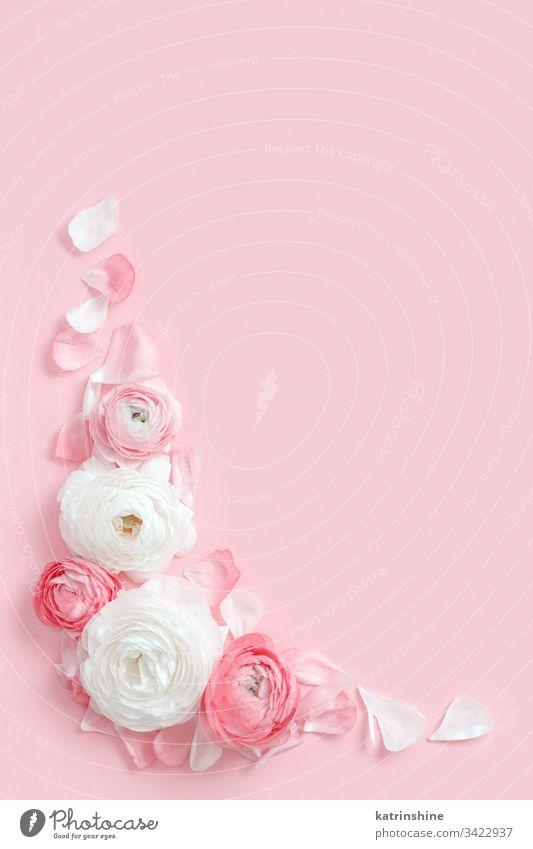 Rahmen aus Hahnenfußblüten auf einem hellrosa Hintergrund Winkel Blume Ranunculus Frühling romantisch Fuchsie Pastell flache Verlegung Zusammensetzung Rosen