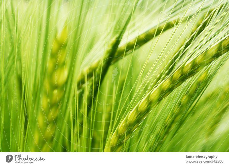 Grundnahrungsmittel Lebensmittel Getreide Landwirtschaft Forstwirtschaft Gerste Gerstenähre Feld Gerstenfeld Getreidefeld Getreideernte grün Farbfoto