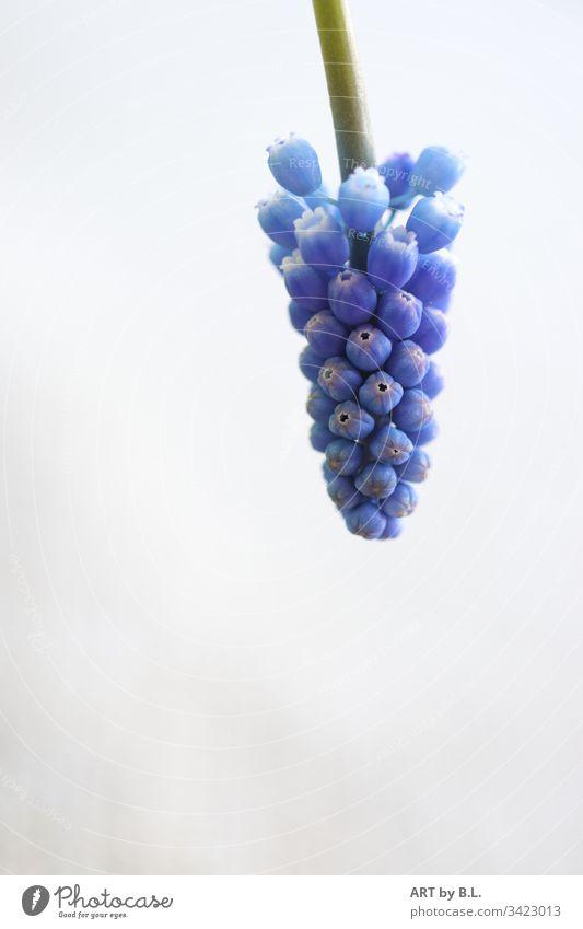 Traubenhyazinthe von oben ins Bild kommend trauben glöckchen frühling blau blue traubenhyazinthe textfreiheit menschleer natur blume frühblüher jahreszeit