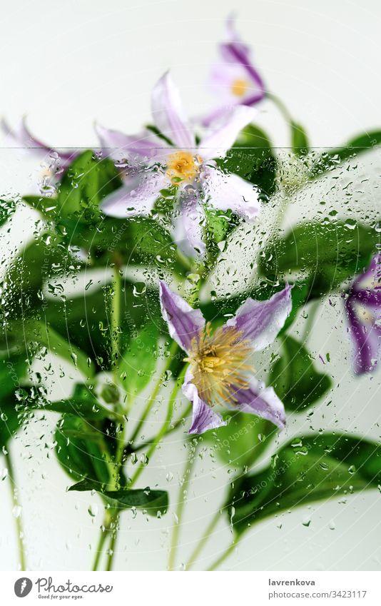Klematisblüten, hinter dem Glas mit Wassertropfen aufgenommen, selektiver Fokus, Frühlingskonzept Frische Tropfen Regen Clematis Blumenstrauß Blütenblatt gelb