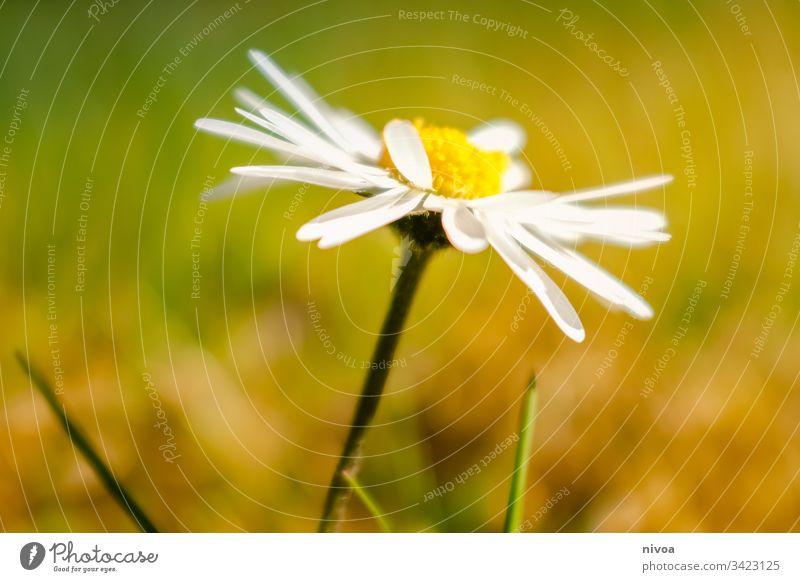 Gänseblümchen Blume Frühling Wiese grün Blüte Sommer Blühend Außenaufnahme Pflanze Natur Gras Nahaufnahme Farbfoto Garten Blumenwiese Wachstum Duft Menschenleer