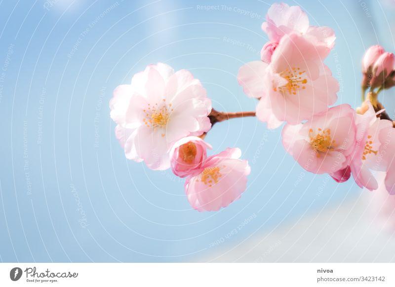 Kirschblüten im Detail Frühling Blüte rosa Schönes Wetter Sonnenlicht Blühend Pflanze Baum Außenaufnahme Natur Farbfoto Park Tag Frühlingsgefühle Menschenleer