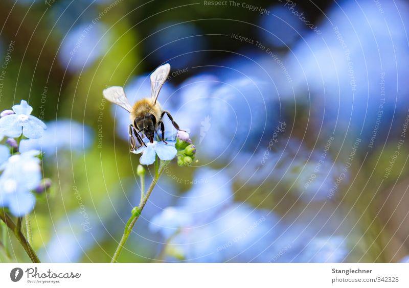 Sammelbiene Natur schön Pflanze Sommer Blume Tier Umwelt Bewegung Glück Blüte Garten natürlich Schönes Wetter Abenteuer einzigartig Blühend