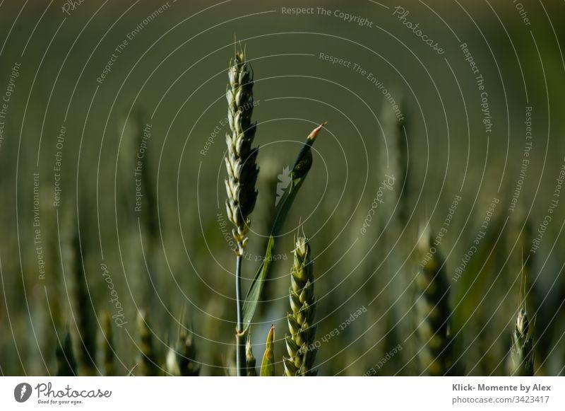 Weizenähre Ähre grün Feld Landwirtschaft Korn Getreide Sommer Natur Kornfeld Weizenfeld Nutzpflanze Wachstum Ernte Umwelt Lebensmittel Ernährung Mehl Landschaft
