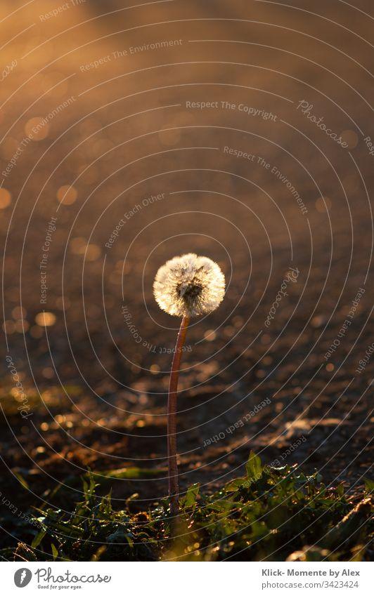 Pusteblume im Morgenlicht Löwenzahn Morgentau Sonnenlich Licht Tau Blume Pflanze Natur Wiese Umwelt leuchten
