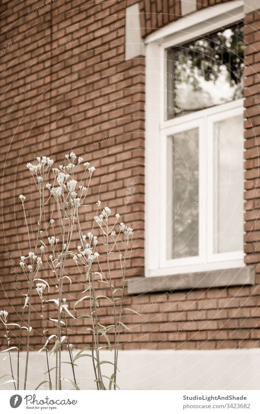 Weiß blühende Pflanze vor einem Backsteinhaus Fenster Rahmen Glas Gebäude Haus heimwärts Baustein Wand Blume Frühling Sommer Blühend Blütezeit Überstrahlung