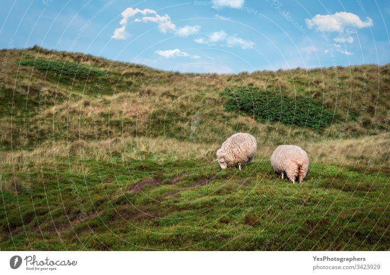 Schafe weiden auf Dünen mit Moos auf der Insel Sylt Deutschland Schleswig-Holstein Tiere Blauer Himmel Küste Dunes Europa Europäer Bauernhof kostenlose Tiere