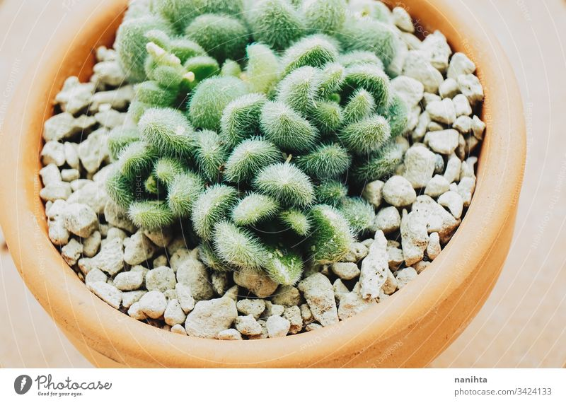 Schönes Makro eines Sedum hintonii Sukkulente sukkulente Pflanze plantas Sukkulenten Fettpflanzen Fetthenne sedum hintonii pachyphyllum Pachyphytum exotisch