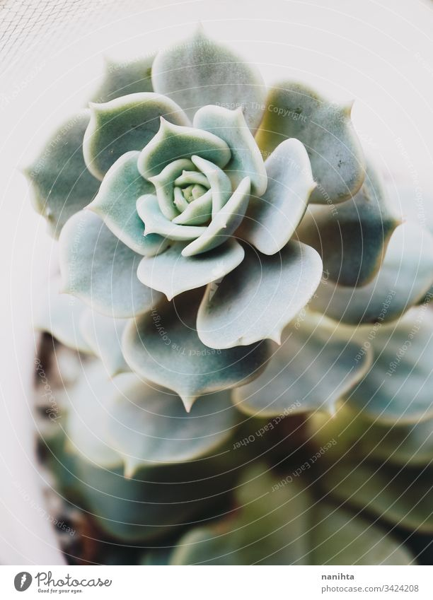 Elegante Makroaufnahme einer Echeveria lola Sukkulente sukkulente Pflanze plantas Sukkulenten Echeverien Fettpflanzen exotisch schön Dekor