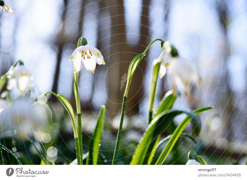 Blühende Märzenbecher im Wald Märzenbecherwald Märzenbecherwiese Frühling Frühlingsgefühle Frühlingstag Außenaufnahme Natur Pflanze Blume Frühlingsblume Blüte