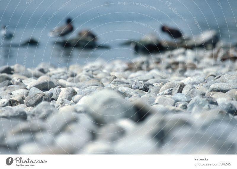 Steinstrand Wasser Strand See Ente Kieselsteine