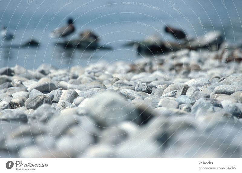 Steinstrand Wasser Strand Stein See Ente Kieselsteine