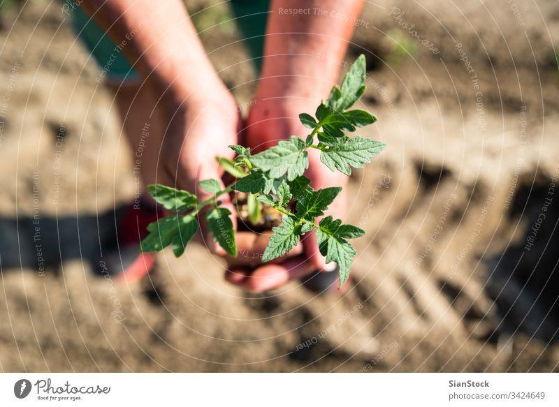 Hände halten Erde und Pflanze Tomate Landwirtschaft Garten Gemüse Gartenarbeit Frühling Boden Bepflanzung Ackerbau Feld Hand Sämlinge Schonung Keimling