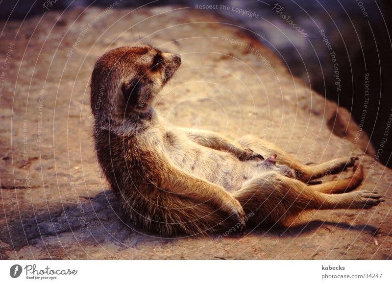 relaxed Erholung Wärme Zoo Erdmännchen