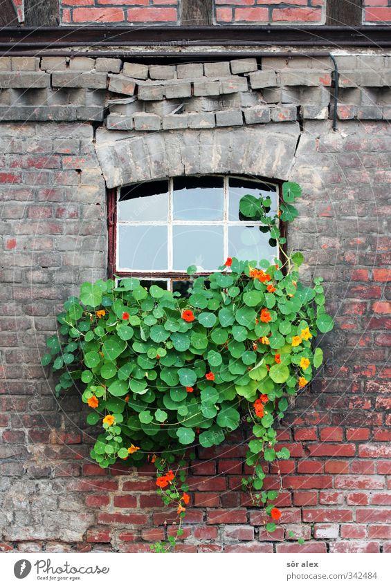 Fassadenbegrünung Pflanze Frühling Blume Blatt Blüte Grünpflanze Dorf Kleinstadt Altstadt Haus Backsteinwand Fachwerkfassade Fenstersims Mauer Wand alt