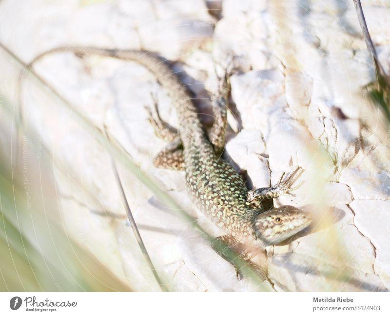 Eidechse auf hellem Stein Tier Reptil Echsen Natur Lizard Schuppen Wildtier Nahaufnahme Tierporträt Tag grün beobachten Farbfoto Außenaufnahme Tiergesicht Gras