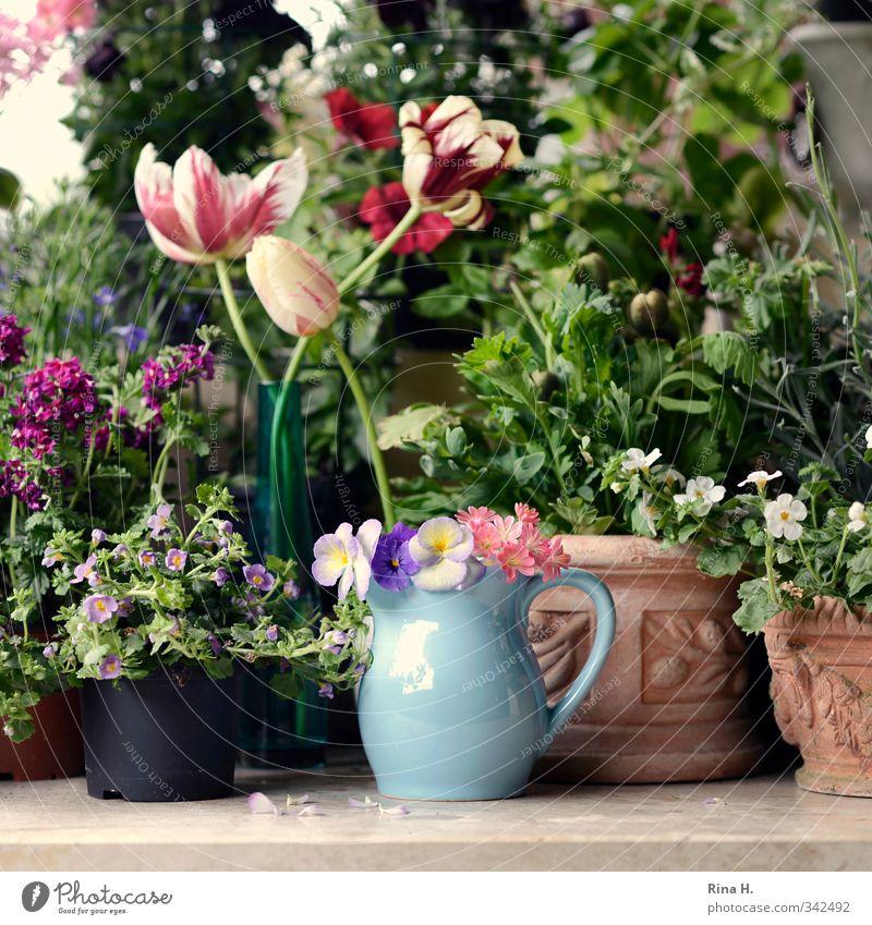 Versammlung Pflanze Frühling Sommer Blume Tulpe Blüte Garten Blühend verblüht mehrfarbig Lebensfreude Frühlingsgefühle Vorfreude Idylle Blumentopf Terrakotta