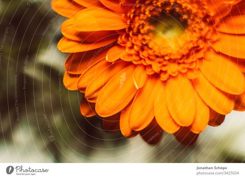 Nahaufnahme von orangefarbenen Gerbara, Asteraceae, Gänseblümchenfamilie, Plantae Blütezeit Blumenschmuck plantae Hintergrund schön Schönheit Überstrahlung