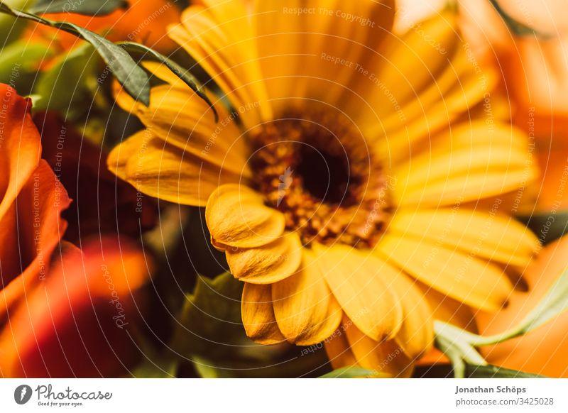 Nahaufnahme von gelben Gerbara, Asteraceae, Gänseblümchenfamilie, Plantae Blütezeit Blumenschmuck plantae Hintergrund schön Schönheit Überstrahlung Blumenstrauß