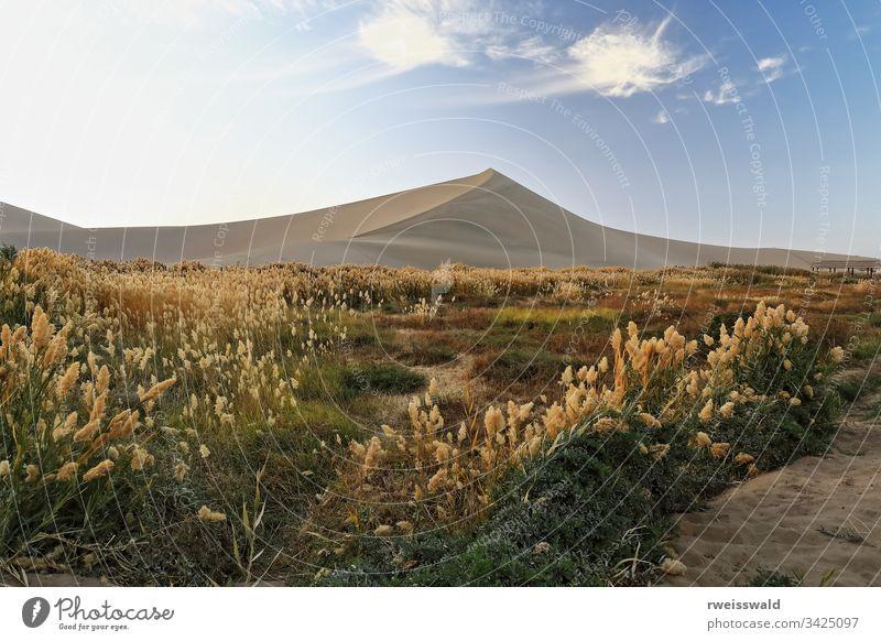 Mit Pampasgras überfülltes Gebiet - Cortaderia selloana. Halbmond-See-Dunhuang-Gansu-China-0684 keine Menschen Grasland Landschaft Wüstenlandschaft Ansicht