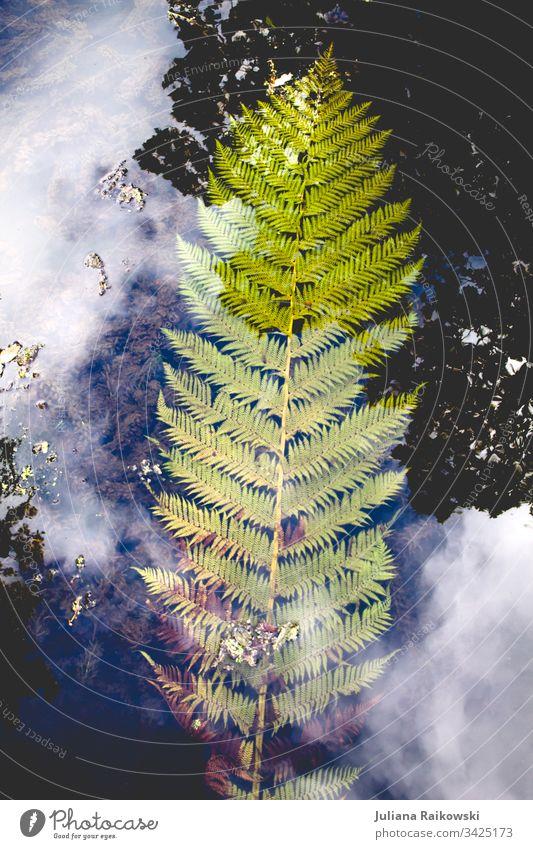 Farn im Wasser Farnblatt Natur Pflanze grün Außenaufnahme Blatt natürlich Botanik Umwelt Grünpflanze Spiegelung Wolken blau Detailaufnahme Wachstum