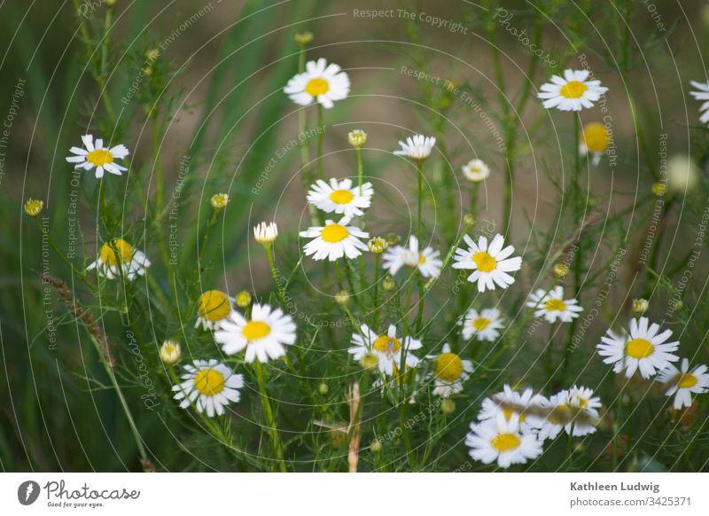 Kamille am Wegesrand Kamillenblüten Heilpflanzen Pflanze Natur Blüten weiß Blumen Außenaufnahme Sommerblumen Heilkräuter Farbfoto Kräuter blühende Kamille