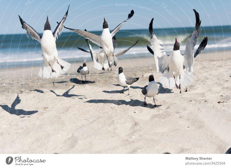 Ein Schwarm Möwen springt auf den Strand Vogel Vögel springen springend die Flucht ergreifen aufgeregt Freude Fröhlichkeit Freuen Sie sich vor Freude springen