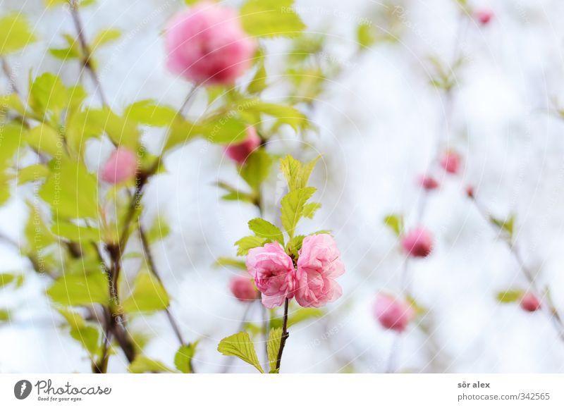 rosa Blüten Umwelt Natur Pflanze Frühling Blume Blatt Strauchrose schön grün Romantik exotisch Liebe positiv Naturliebe Frühlingsgefühle Blühend Garten Farbfoto
