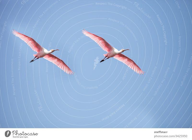 Rosa ausgebreitete Flügel eines fliegenden rosa Löfflervogels Platalea aja Vogel Rosalöffler Fliege gespreizte Flügel rosa Vogel rosa Flügel Federn